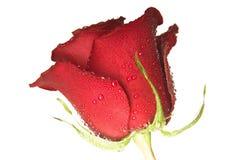 Scarlet rose Royalty Free Stock Image