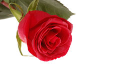 Scarlet rose Stock Photo