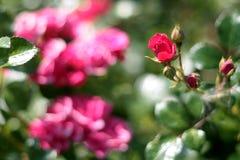 Scarlet rose. Bush of scarlet ground cover rose Royalty Free Stock Photo