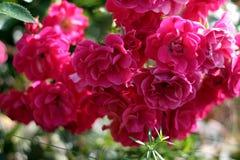 Scarlet rose. Bush of scarlet ground cover rose Stock Photos