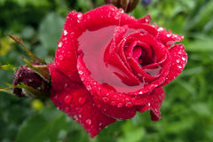Scarlet rose in dew against greens. Red rose in the morning dew on the green background Royalty Free Stock Images