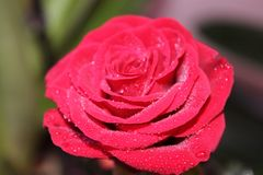 Scarlet rose with dew drops on petals royalty free stock images