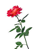Scarlet rose flower isolated Royalty Free Stock Images