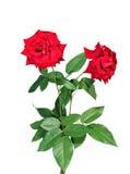 Scarlet rose flower isolated Stock Photo