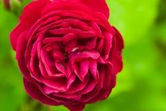 Scarlet rose flower, macro photo Stock Photos