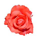 Scarlet rose isolated on white background. Fully open gentle pink rose flower head isolated on white background. Royalty Free Stock Photos