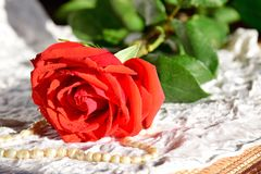 The scarlet rose lies on a white cloth. On the petals of dew. The pearl beads lay beside the red rose. royalty free stock image