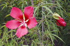Scarlet rose mallow fower Royalty Free Stock Images