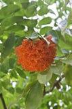 Scarlet Rose of Venezuela flower Stock Photo