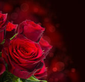 Scarlet roses  on dark background Royalty Free Stock Photography