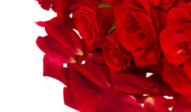 Scarlet  roses with petals close up Royalty Free Stock Photography