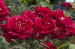 Scarlet roses. Summer flowering of scarlet roses Stock Image