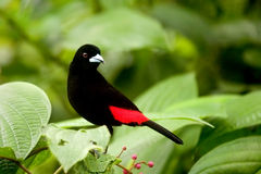 Scarlet - rumped Tanager. Male standing with it side to the camera Stock Photos
