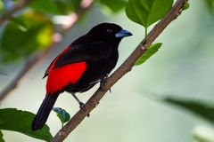 Scarlet rumped tanager or Passerini's Tanager Royalty Free Stock Image