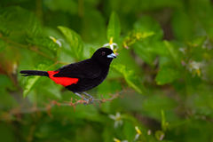 Scarlet-rumped Tanager, Ramphocelus passerinii, exotic tropic red and black song bird form Costa Rica, in the green forest nature Stock Images