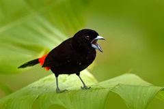 Scarlet-rumped Tanager, Ramphocelus passerinii, exotic tropic red and black song bird form Costa Rica, in the green forest nature. Habitat stock photo