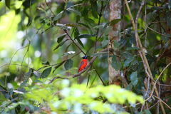 Scarlet-rumped Trogon Stock Images