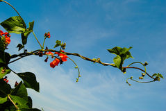 Scarlet runner bean Royalty Free Stock Image