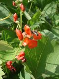 Scarlet runner bean flowers with bee Royalty Free Stock Photo