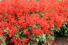 Scarlet sage Royalty Free Stock Images