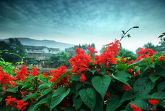 Scarlet sage liujiang town in China Royalty Free Stock Images