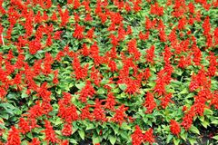 Scarlet salvia Royalty Free Stock Photography