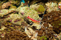 Scarlet Skunk Cleaner Shrimp. In Aquarium stock photo