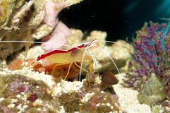 Scarlet Skunk Cleaner Shrimp. On Coral Reef royalty free stock photography