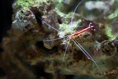 Scarlet Skunk Cleaner Shrimp. Lysmata Amboinensis (Scarlet Skunk Cleaner Shrimp stock photography