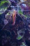 Scarlet Skunk Cleaner Shrimp in marine aquarium. Lysmata Amboinensis (Scarlet Skunk Cleaner Shrimp) in marine aquarium royalty free stock image