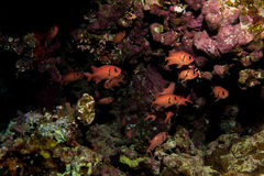 Scarlet soldierfishes in the red sea royalty free stock photography