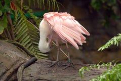 Scarlet spoonbill pelican Royalty Free Stock Image