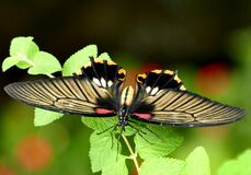 Scarlet Swallowtail. Stock Images