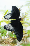 Scarlet Swallowtail butterfly. On a plant Stock Images
