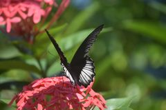 Wings Parted on the Back of a Scarlet Swallowtail Butterfly royalty free stock photo