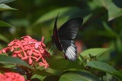 Scarlet Swallowtail Butterfly in a Lush Garden Polinating. Scarlet swallowtail butterfly polinating in a lush green garden stock photos