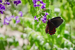 Scarlet Swallowtail Stock Images