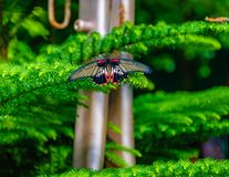 Scarlet swallowtail female butterfly with wings open. Scarlet swallowtail female papilio rumanzovia butterfly with the wings open hanging on a shrub with white royalty free stock photo