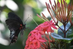 Scarlet Swallowtail on Red Flowers in Bloom royalty free stock photography