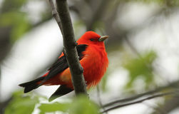 Scarlet Tanager Royalty Free Stock Photos