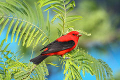 Scarlet Tanager. Perched in a Mimosa Tree with very nice eye contact Stock Photography