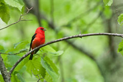 Scarlet Tanager. A Scarlet Tanager singing from the branch of an oak tree Royalty Free Stock Photography