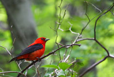 Scarlet Tanager. A Scarlet Tanager (Piranga olivacea) perches on a branch in the woods Stock Photos