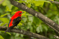 Scarlet Tanager Stock Photo
