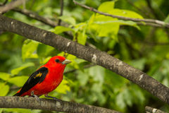 Scarlet Tanager Stock Image