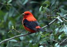Scarlet tanager. Male scarlet tanager perched on a branch Stock Photo