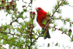 Scarlet Tanager Royalty Free Stock Photography