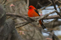 Scarlet Tanager Stock Images