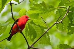 Scarlet Tanager Royalty Free Stock Image