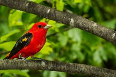 A close up of a Scarlet Tanager. A Scarlet Tanager perched in a tree during breeding season Royalty Free Stock Photos